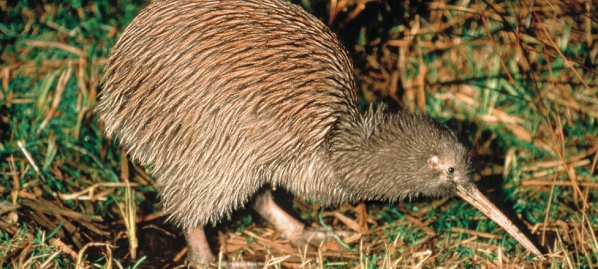 Kiwi, Uusi-Seelanti